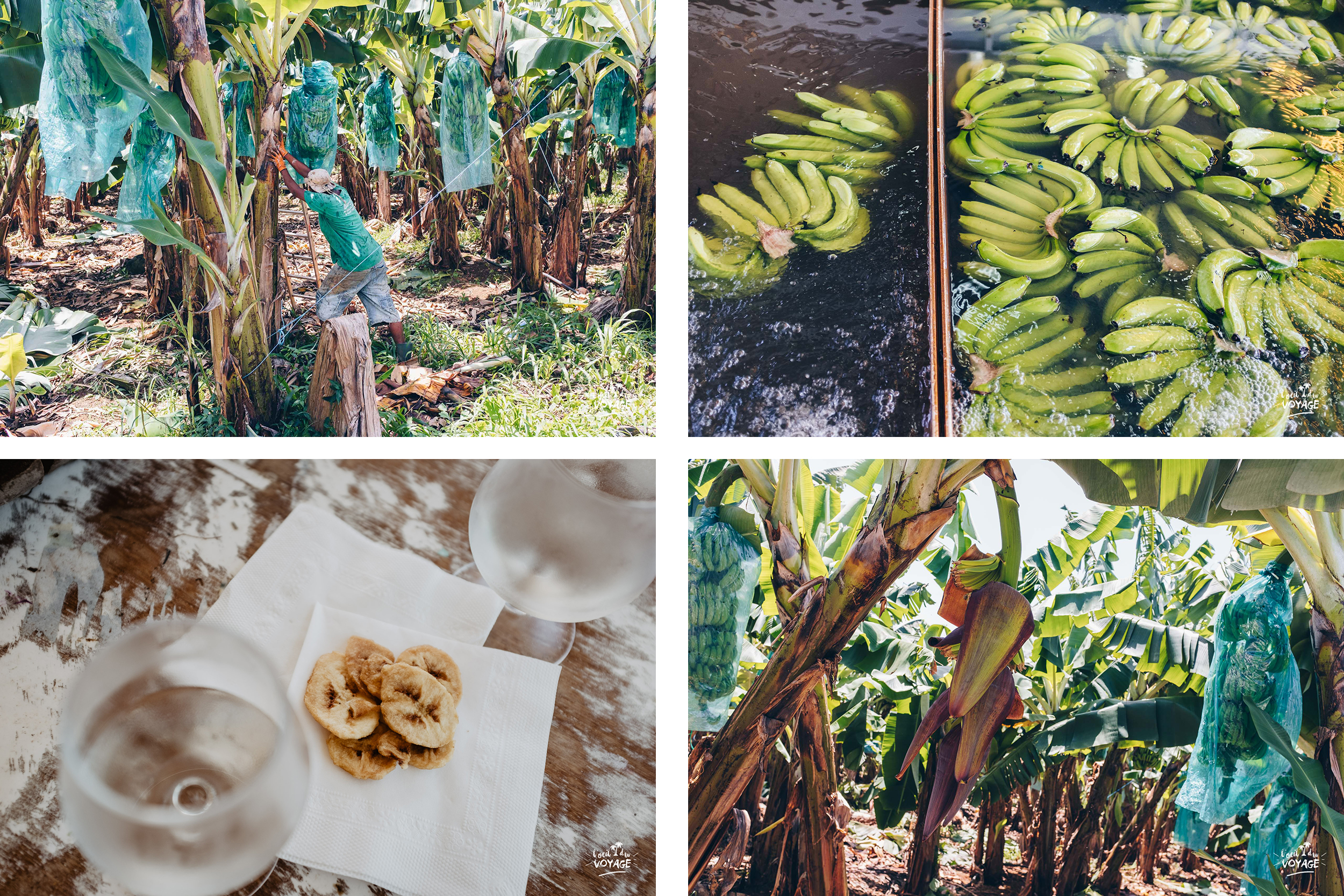 visiter une bananeraie en Martinique, bon plan voyage martinique, meilleur blog voyage